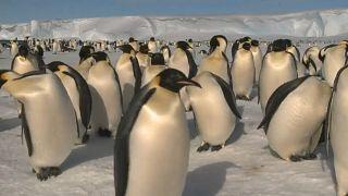 La disparition tragique des manchots empereurs en Antarctique