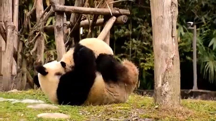Dos pandas chinos para enamorar a Rusia