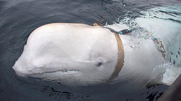 Norveç: 'Rus Donanması beyaz balinaları askeri amaçlarla eğitiyor'