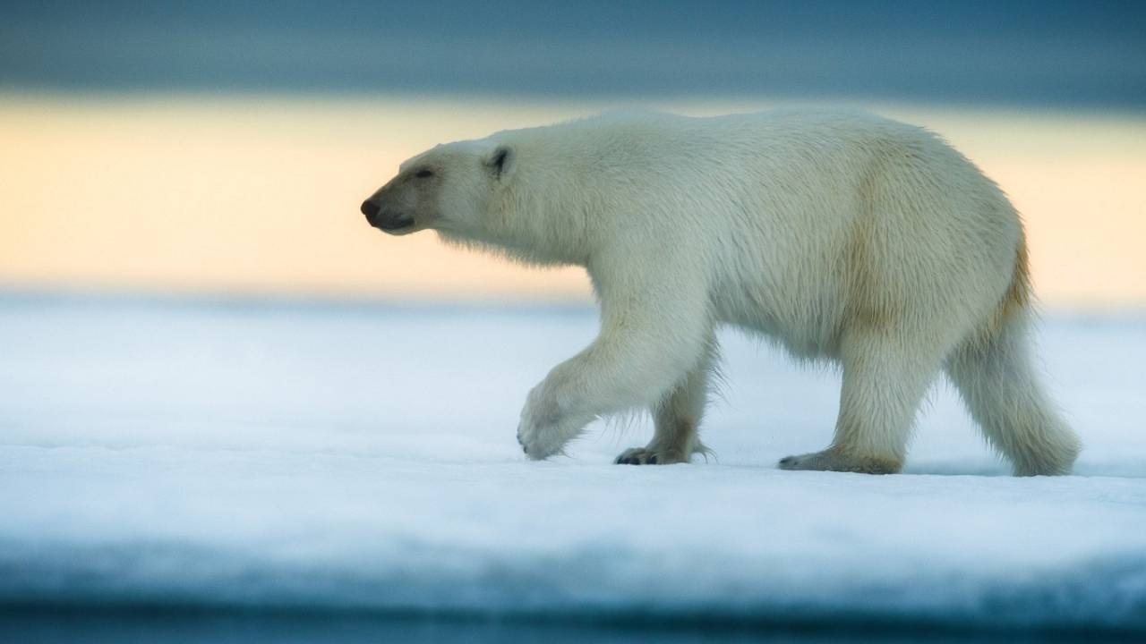 Saving polar bears through images and ecotourism