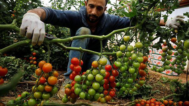 مزارع فلسطيني يلتقط حبات البندورة في الضفة الغربية