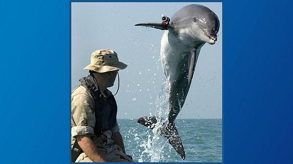نیروی دریایی آمریکا پستانداران آبزی را به چه منظوری تربیت میکند؟