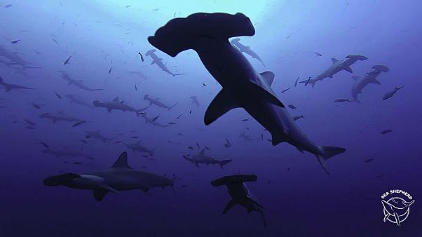 30 hammerhead sharks die at French aquarium, some ate each other, claims Sea Shepherd