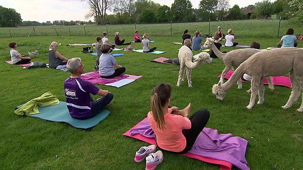 Avec les adaptes du yoga alpaga en Allemagne