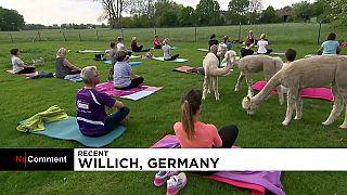 Γερμανία: Μαθήματα γιόγκας με αλπακά