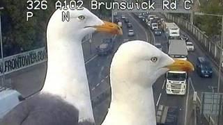 A view of a bird's eye: seagulls photobomb traffic cameras