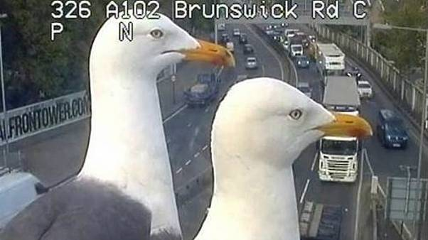 A view of a bird's eye: seagulls photobomb traffic cameras