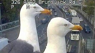 Лондонские чайки облюбовали дорожные камеры и стали звездами интернета