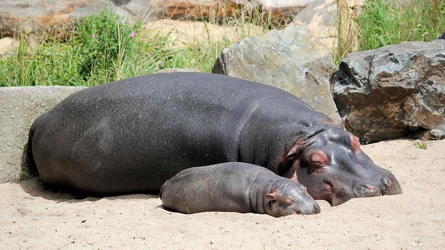 Hippos play a key role in maintaining ecosystems... with their poop