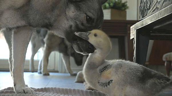 Affenliebe zwischen Hund und Ente