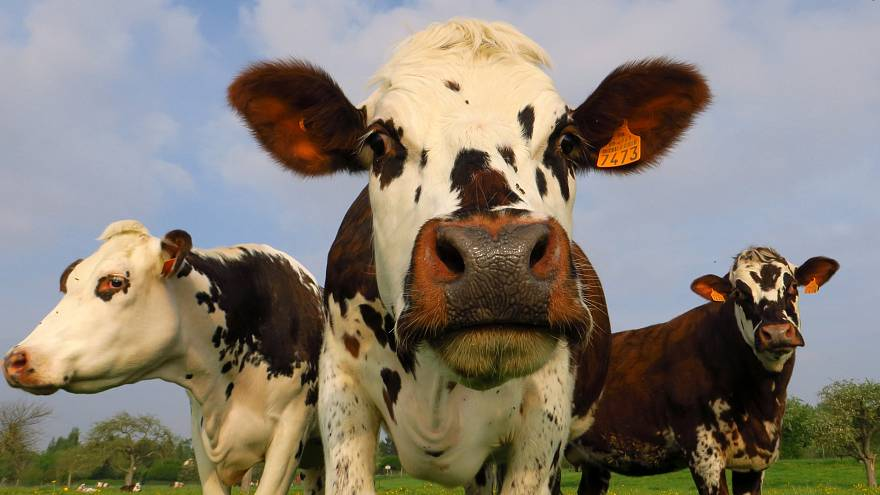 Is it cow burps rather than farts that are warming our planet? | NBC Left Field
