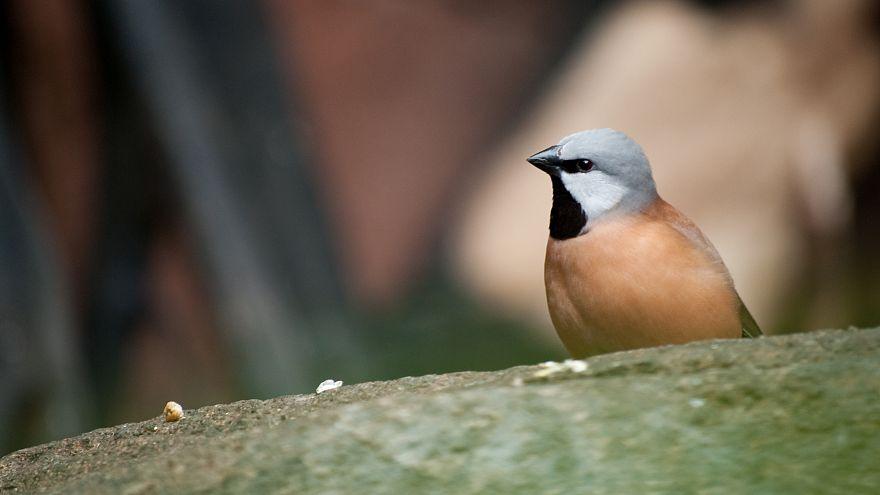 Quand un petit oiseau met par terre un projet minier géant en Australie