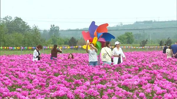 الفاوانيا الصينية تجذب اهتمام عشاق الزهور مع بداية موسم الربيع
