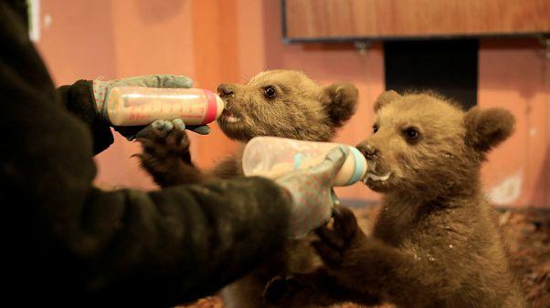 Von Hand aufgepäppelt: Bärenbrüder Bradley und Cooper