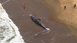La tragedia de las ballenas grises en la bahía de San Francisco