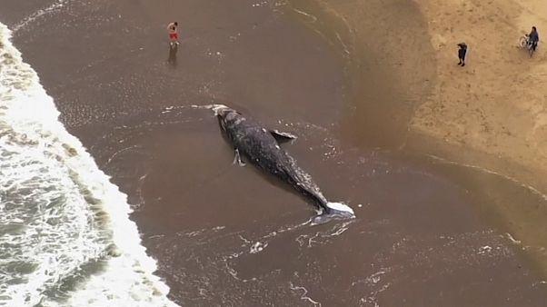 9ème baleine grise trouvée morte en 2 mois dans la baie de San Francisco