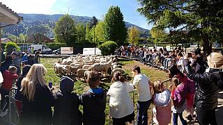 Education cuts spark strange ramifications as sheep are symbolically enrolled in French school