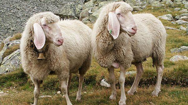 Symbolbild: Schafe