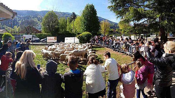 Direction l'école pour les moutons !