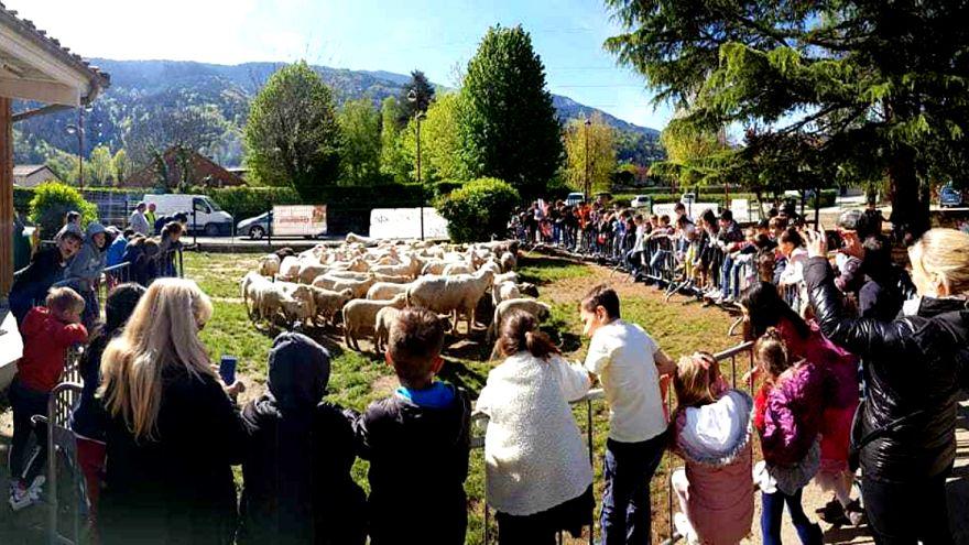 Fransa'da bir sınıfın kapanmasını önlemek için 15 koyun okula kaydedildi