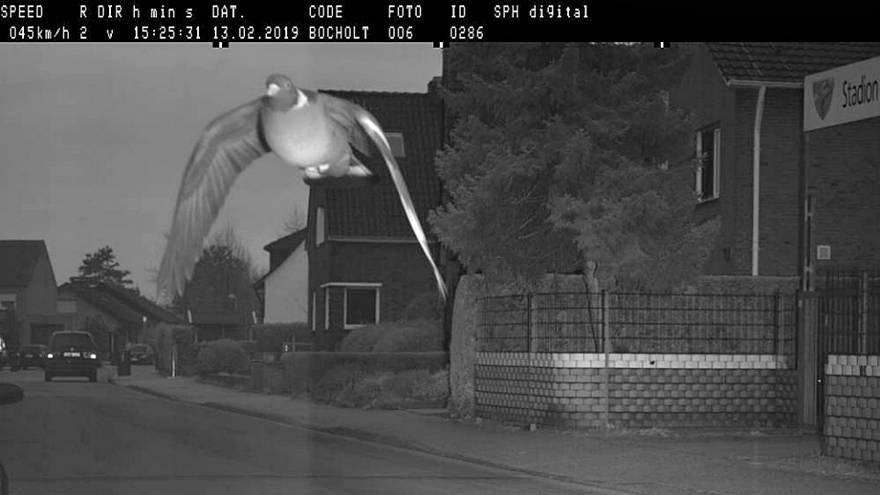 German authorities mull over fine for hasty pigeon snapped on speed camera