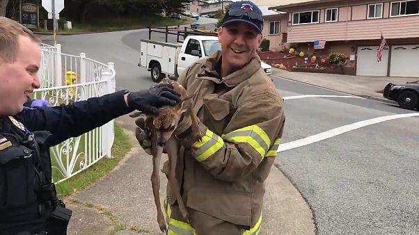 ویدئو؛ نجات یک بچه آهو توسط آتشنشانان در کالیفرنیا