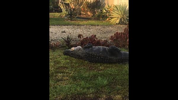 Watch: Alligator captured near school bus stop in Florida
