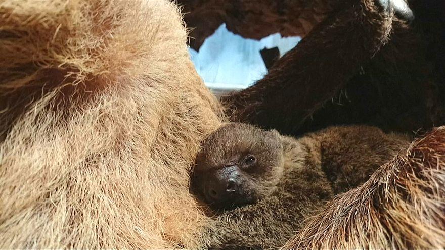 مولود جديد لحيوان الكسلان