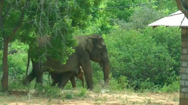 سریلانکا؛ وقتی فیل آشفته برای نجات فرزندش به دهکده پناه میآورد