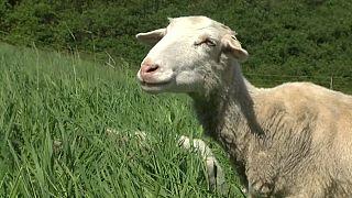 Für den Erhalt urbaner Ökosysteme: Schafe weiden auf Wiens Donauinsel
