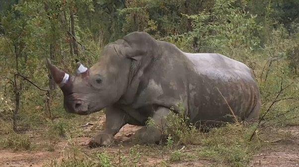 وحيد القرن بعد حقن المادة السامة في قرنه