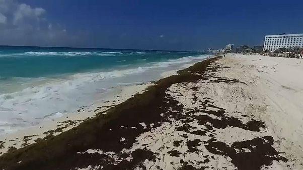 Meksika'da 'Sargassum' yosunu alarmı: Kıyıları 1 milyon ton çürümüş yumurta kokulu yosun kaplayacak
