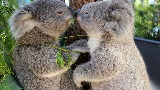 Két koalakölyök, Bai'yali és Holly a sydneyi Taronga Állatkertben.