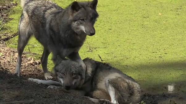 As of 2019, 59 wolf packs have been counted in Germany