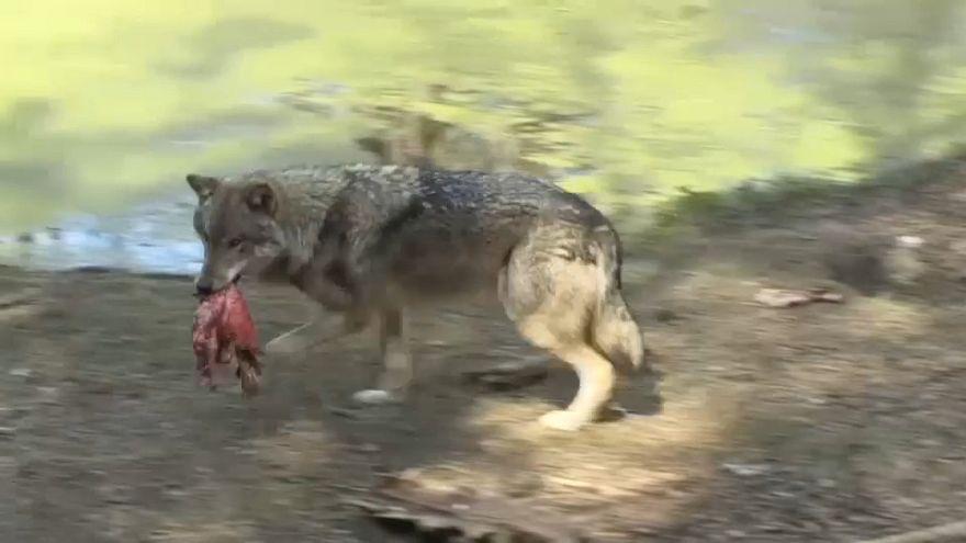 Wolf im Wildpark Schorfheide