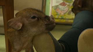 Baby pigs roam at Japan's latest animal-themed cafe