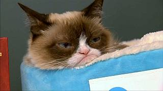 Trauer um Grumpy Cat - die Katze mit mehr als 8 Millionen Fans