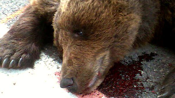 الدب فرانسكا سلوفيني قتل بحادث طرق في جبال البيرينيه جنوب فرنسا في آب 2007
