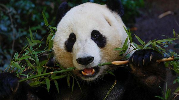 Neue App soll wilde Pandabären an Gesichtern erkennen