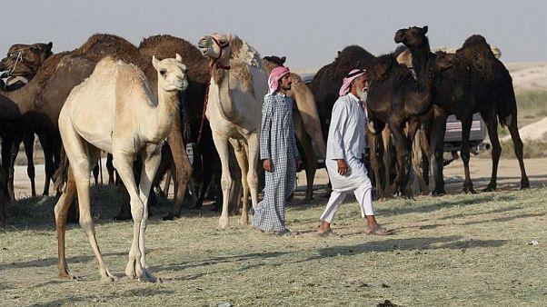 ۱۰ هزار شتر قطری به ایران میروند