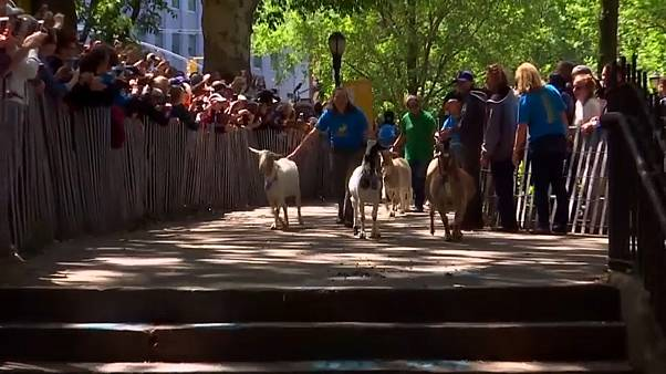 The goats arrive at the park greeted by crowds of fans