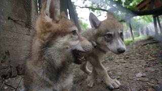 ویدئو؛ توله گرگهای باغ وحش مونتری در مکزیک