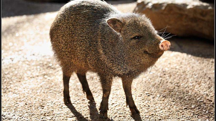 Ritka Chaco-pekarik születtek a prágai állatkertben
