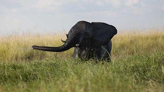 Un éléphant photographié dans le parc national de Chobe au Botswana en 2015