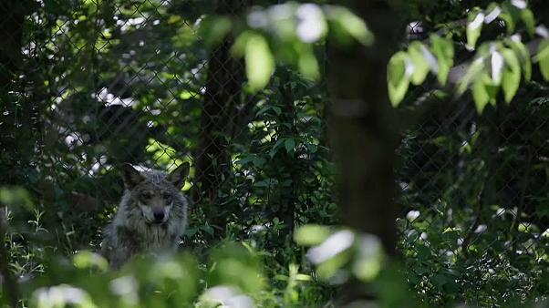 USA: Kommt der Grauwolf auf die Abschussliste?