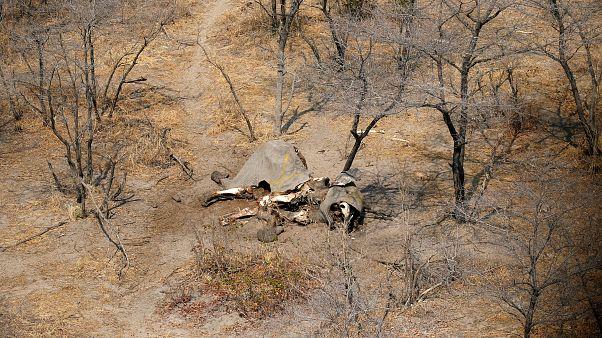 Botswana will Jagd auf Elefanten wieder erlauben