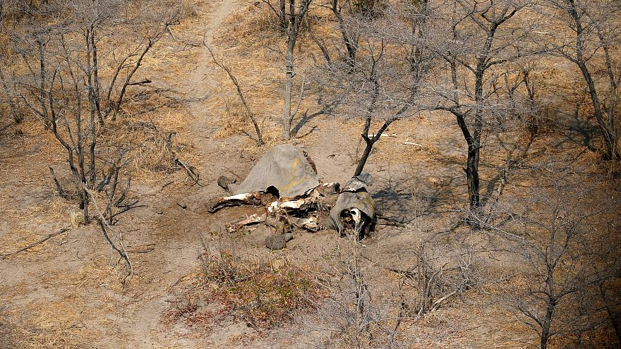 Újraindul az elefántvadászat Botswanában
