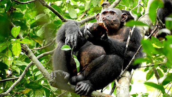 У шимпанзе появляется культура?