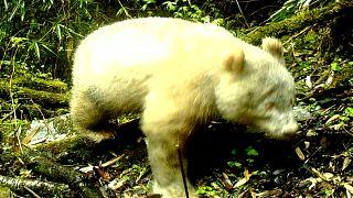 شاهد: كاميرات محمية طبيعية ترصد باندا بيضاء نادرة في الصين