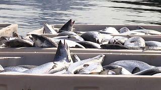 Algenplage tötet 100.000 Tonnen norwegischen Lachs